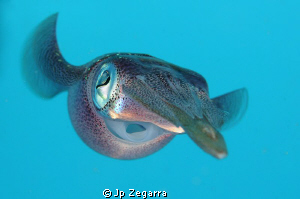 followed a group of caribbean reef squid for a while, bef... by Jp Zegarra 